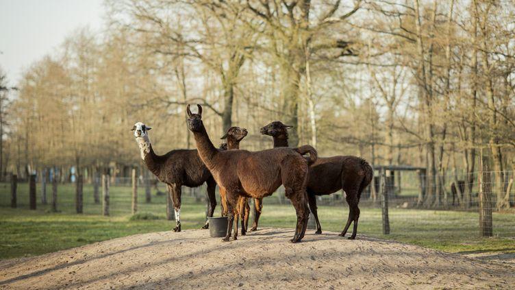 Le lama Winter, au premier plan, a produit des anticorps qui pourraient être dupliqués et utilisés pour combattre le coronavirus. (TIM COPPENS)