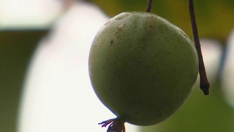 Alimentation : coqueluche des Français, le kiwi se réinvente (France 2)