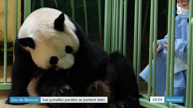 Zoo de Beauval : les deux nouveaux bébés pandas se portent bien