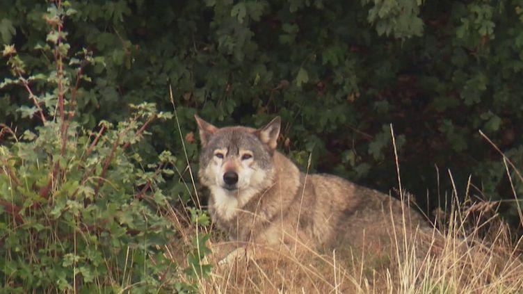 Le loup se sent de plus en plus chez lui en France au point qu'il se répand et qu'il étend son territoire (Capture d'écran / France 2)