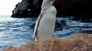 """Unmanchot considéré comme """"rare"""" du fait de son plumage blanc, le 19 novembre 2020, sur une île desGalapagos, en Équateur. (JIMMY PATINO / PARQUE NACIONAL GALAPAGOS / AFP)"""