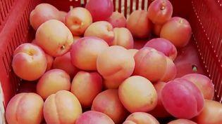 Des abricots récoltés dans la Drôme. (FRANCE 3)
