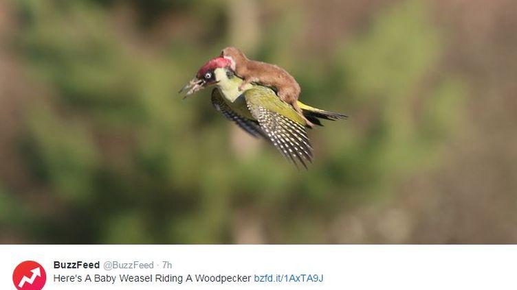Capture écran d'un tweet de Buzzfeed montrant la photo d'un pic-vert et d'une belette, le 3 mars 2015. (MARTIN LE-MAY / BUZZFEED / TWITTER)