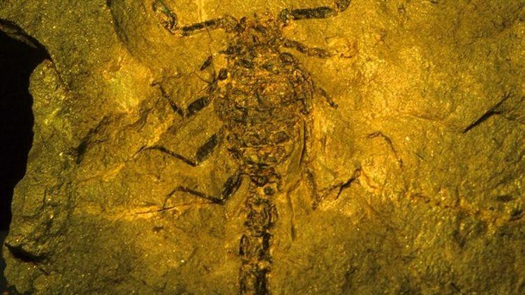 Un scorpion fossilisé dans le Bas-Rhin le 26 novembre 2007. Celui découvert en Afrique du Sud en 2013 est le plus vieil animal terrestre découvert dans l'hémisphère sud. (MICHEL RAUCH / AFP)