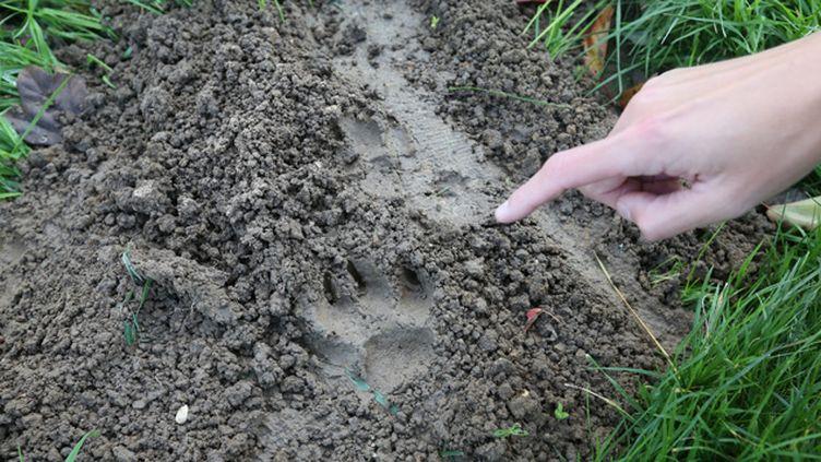 (Les analyses des empreintes laissées par le félin montrent qu'il ne s'agit pas d'un tigre © Maxppp)