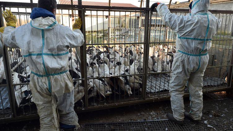 Des canards enfermés dans une cage en vue d'être abattus, à Belloc-Saint-Clamens(Gers), le 6 janvier 2017. (Photo d'illustration) (REMY GABALDA / AFP)
