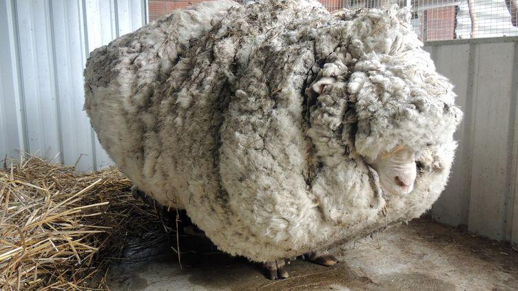 Le mouton le plus laineux du monde retrouvé à Canberra (Australie), dans cette photo diffusée le 3 septembre 2015. (RSPCA / AFP)