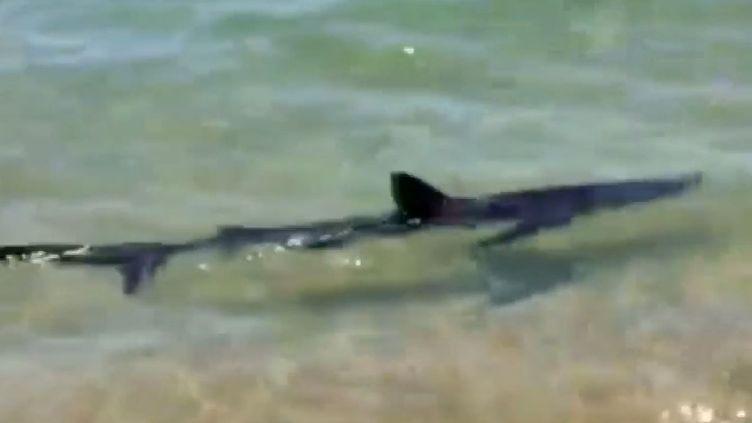 Un requin bleu observé àCalzarellu, en Haute Corse, mercredi 23 juillet. (LE PARISIEN)