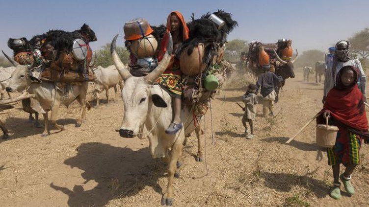 Migration de nomades Fulani avec leur zébus dans la savane de Loumia au Tchad, dans la région sahélienne. De nombreuses familles nomades figurent parmi les apatrides répértoriés en Afrique de l'Ouest. (Photo AFP/Charton Franck)