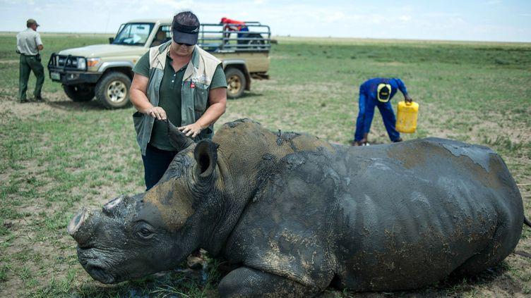 Un rhinocéros se réveille après avoir subi un décornement volontaire dans un parc sud-africain, le 3 février 2016. (MUJAHID SAFODIEN / AFP)