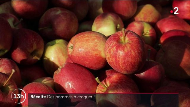 Fruits : une récolte de pommes satisfaisante malgré la météo