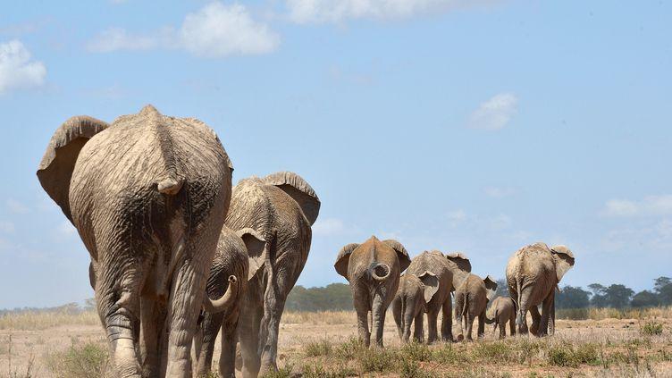 Selon les associations de protection de la nature, plus de 20 000 éléphantssont massacrés chaque année pour leur ivoire. (TONY KARUMBA / AFP)