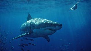 Un requin blanc dans la baie de San Francisco (Californie) le 22 janvier 2007. (ULLSTEIN BILD / GETTY IMAGES)