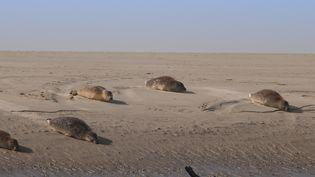 Des phoques sur un banc de sable de la baie d'Authie, près de Berck-sur-Mer (Pas-de-Calais). (STÉPHANE BOUILLAND / BIOSPHOTO / AFP)