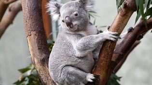 Un koala dans un zoo enBelgique, le 29 mars 2014. ( YVES HERMAN / REUTERS)