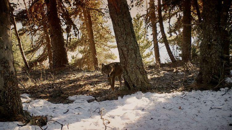 Le cinéaste animalier Jean-Michel Bertrand signe un nouveau documentaire sur les loups. (Gebeka Films)