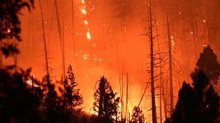 Des sapins brûlent dans un incendie à Twain en Californie aux Etats-Unis le 26 juillet 2021. (ROBYN BECK / AFP)
