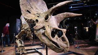 Big John,le triceratops vendu aux enchéres le jeudi 21 octobre 2021 à l'hôtel Drouot à Paris. (MAXPPP)