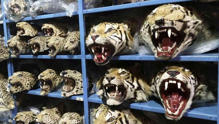 Des têtes de tigres et de léopards saisis par le service américain de la vie sauvage (USFWS). (Photo Reuters/Ryan Moenring/Osfws)