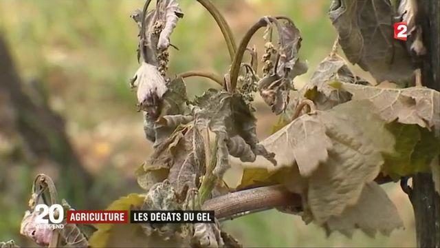 Agriculture : les dégâts du gel pour les vignobles du Bordelais