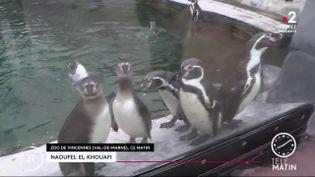 Des pingouins au zoo de Vincennes. (France 2)