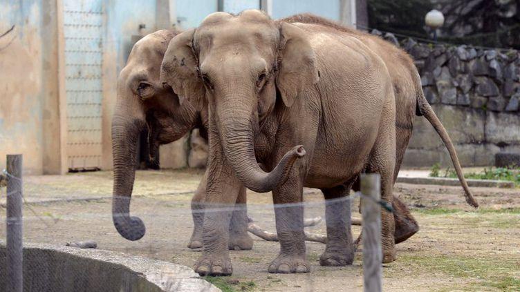 Les éléphantes Baby et Népal, menacées d'euthanasie, au zoo du parc de la Tête d'Or, à Lyon (Rhône), le 6 janvier 2013. (PHILIPPE DESMAZES / AFP)