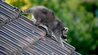 Un raton laveur. Photo d'illustration. (BRITTA PEDERSEN / DPA-ZENTRALBILD)