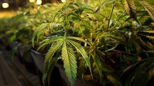 Des plants de cannabis photographiés à Koelliken (Suisse), le 16 mars 2017. (FABRICE COFFRINI / AFP)