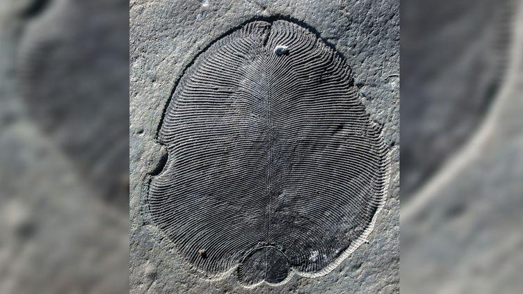 Un fossile de Dickinsonia. (ILYA BOBROVSKIY / AUSTRALIAN NATI / AUSTRALIAN NATIONAL UNIVERSITY / AFP)