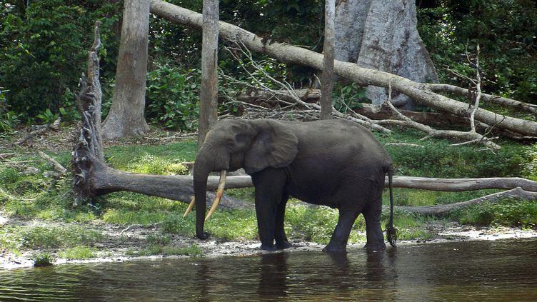 Un éléphant dans le parc de Nouabale Ndoki, classé patrimoine mondial de l'Unesco,au nord du Congo (LAUDES MARTIAL MBON / AFP)