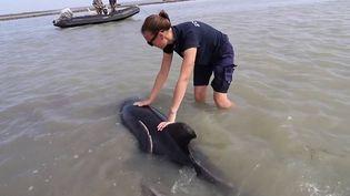 Un échouage massif de dauphins a été évité de peu au large de l'Île de Ré (Charente-Maritime) mercredi 8 septembre. L'intervention de pompiers et de scientifiques a permis de sauver la majorité des mammifères. Les animaux se sont fait piéger au moment où la mer se retirait. (FRANCE 3)