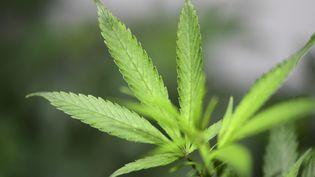 Illustration feuille de cannabis. (MIGUEL MEDINA / AFP)
