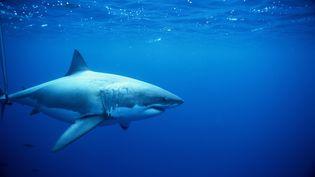 Aux Etats-Unis, la population des requins blancs semble bénéficier des mesures de protection prises dans les années 90. (JEFF ROTMAN / GETTY IMAGES)