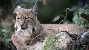 Un lynx au zoo d'Olomouc (République tchèque), le 30 octobre 2017. (SLAVEK RUTA / SHUTTERSTOC / SIPA / REX)