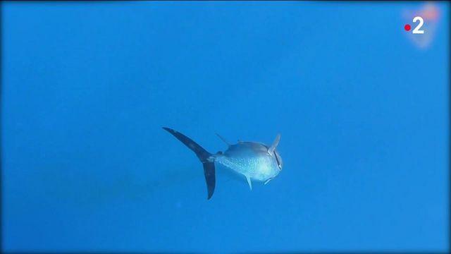 Méditerranée : le thon rouge revient sur la côte