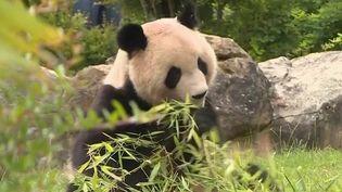 Zoo de Beauval : les deux nouveaux bébés pandas se portent bien (France 3)