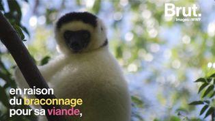 VIDEO. Le lémurien blanc de Madagascar, une des espèces les plus menacées au monde (BRUT)