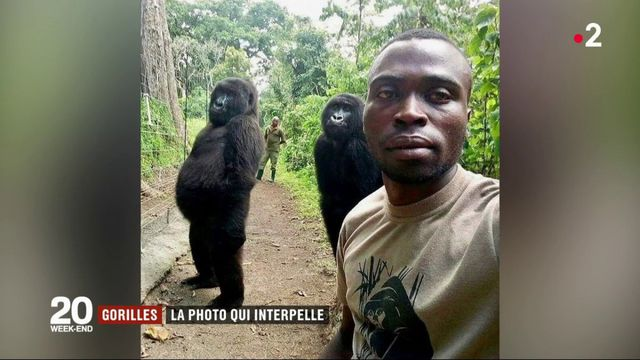Gorilles : la photo qui a fait le tour du monde