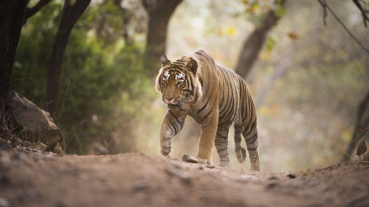 Un tigre du Bengale, dans le parc nationalRanthambore du Rajasthan (Inde). (JANETTE HILL / AFP)