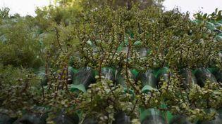 En Inde, un hommeaentrepris de recouvrir les murs des temples ou des immeubles de jardins verticaux.Pour cela, il utilise des bouteilles en plastique transformées en pots extrêmement légers.Un système qui améliore la qualité de l'air.  (France 2)