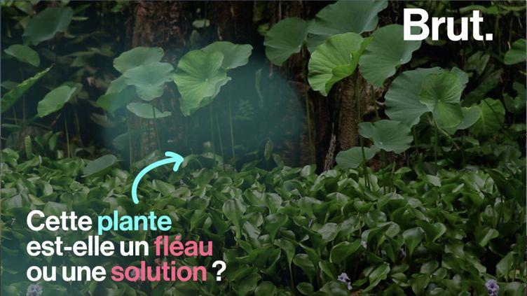 L'expansion de la jacinthe d'eau est telle que cette plante aquatique est devenue un véritable fléau, notamment en Afrique. La société Green Keeper Africa a pourtant trouvé une solution écologique à ce nuisible. (BRUT)