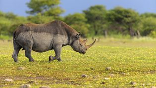 Un rhinocéros noir sur ses terres namibiennes photographié en 2014. (ALAIN MAFART-RENODIER / BIOSPHOTO)