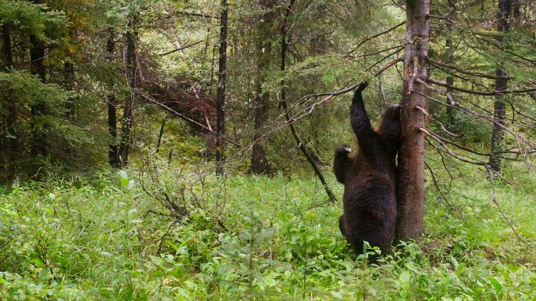 """Cette photo tirée dudocumentaire """"Planète animale 2"""" produit par la BBC, montre un grizzlyqui se frotteà un arbre. Le 04 octobre 2016. (SCREEN GRAB/BBC 2016)"""