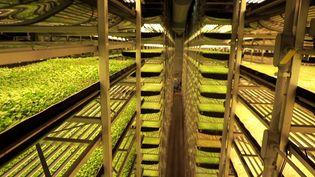 A New York, des salades poussent sur 12étages, sans terre, sans soleil... et sans pesticides (ENVOYÉ SPÉCIAL / FRANCE 2)