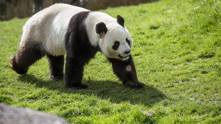 Illustration du panda geant Huan Huan au zoo de Beauval dans le Loir et Cher, le 5 avril 2017. (LEON TANGUY / MAXPPP)