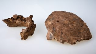 Les restes fossiles d'un crâne et d'une mâchoire qui ont été découverts sur le site de fouilles dans la carrière d'une cimenterie près de la ville centrale de Ramla. (TEL AVIV UNIVERSITY / AFP)