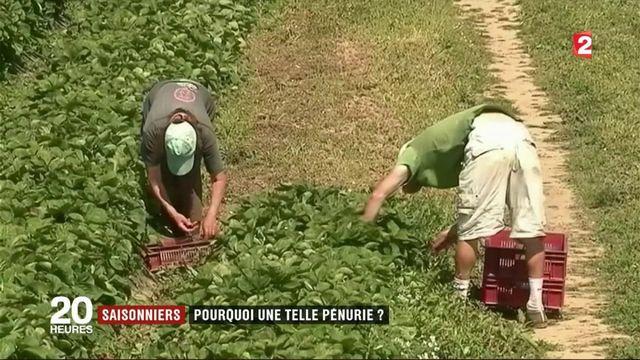 Saisonniers : le travail éreintant des cueilleurs de fraise