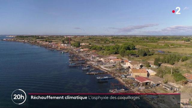 Climat : les coquillages de l'Hérault meurent sous la chaleur
