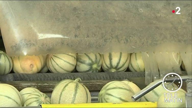 Des melons en Vendée. (France 2)