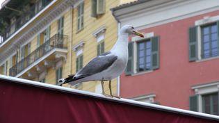 Depuis quelques années, les goélands sont de plus en plus nombreux à Nice (Alpes-Maritimes). (  MAXPPP)